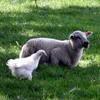 Löwen gibt's in der Zweiten Bundesliga - auch Schafe und Hühner?